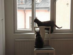 Fönsterkatter